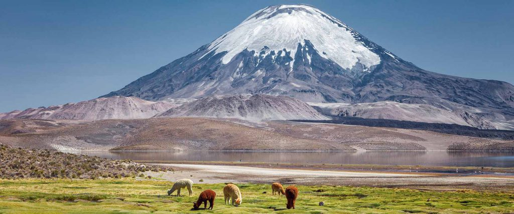Alpaca's (Vicugna pacos) grazing on the shore of Lake Chungara a